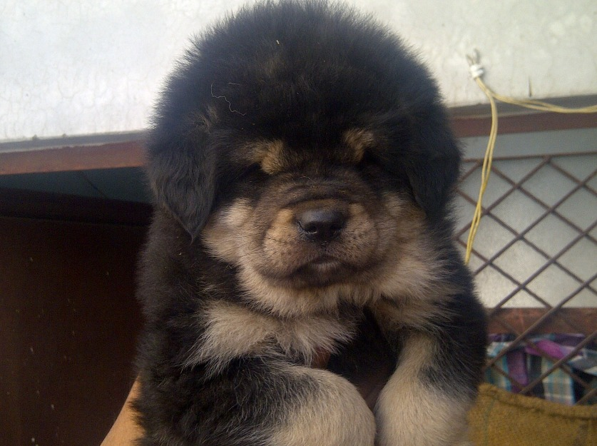 Tibetan Mastiff Puppies: Tibetan Imported Tibetan Mastiff Puppies Sale Breed