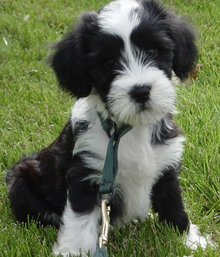 Tibetan Terrier Dog: Tibetan Norman The Tibetan Terrier Breed