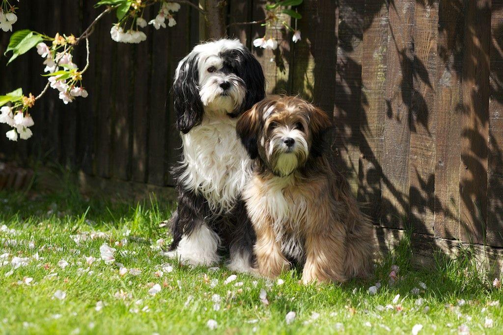 Tibetan Terrier Puppies: Tibetan Pedigree Tibetan Terrier Puppies For Sale Newport Pagnell Breed