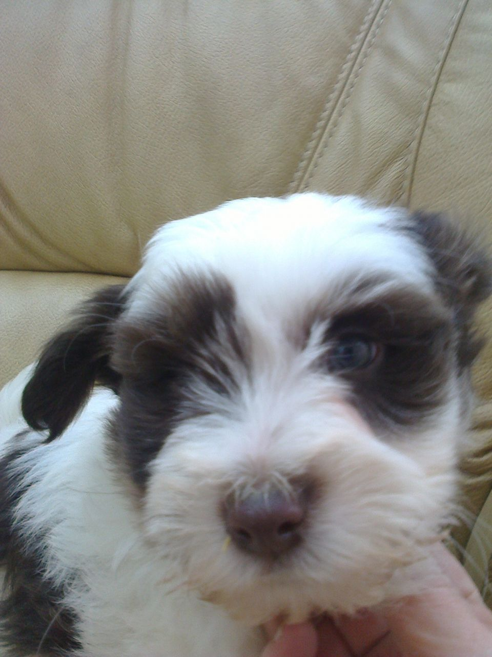Tibetan Terrier Puppies: Tibetan Quality Tibetan Terrier Puppies March Breed
