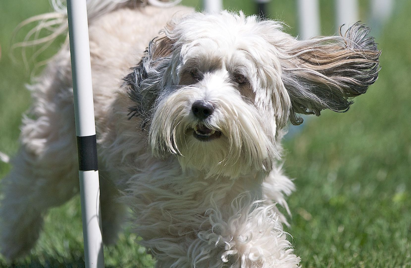 Tibetan Terrier Dog: Tibetan Running Tibetan Terrier Dog Breed