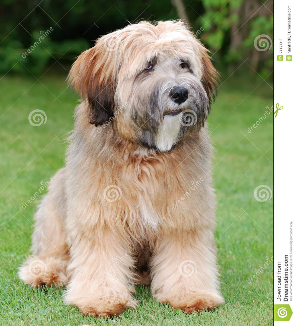 Tibetan Terrier Dog: Tibetan Stock S Tibetan Terrier Dog Breed
