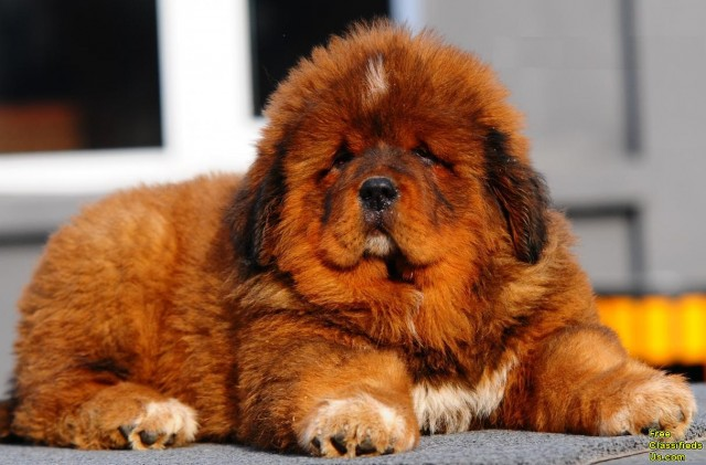 Tibetan Mastiff Puppies: Tibetan The Worlds Most Expensive Dog Breeds