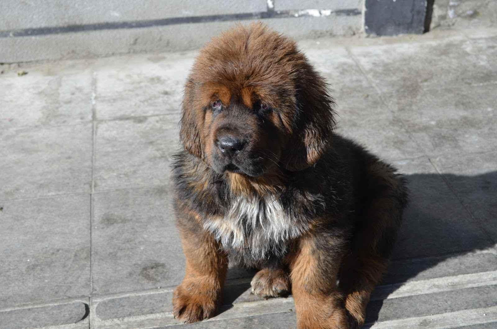 Tibetan Mastiff Puppies: Tibetan Tibetan Mastiff Breed