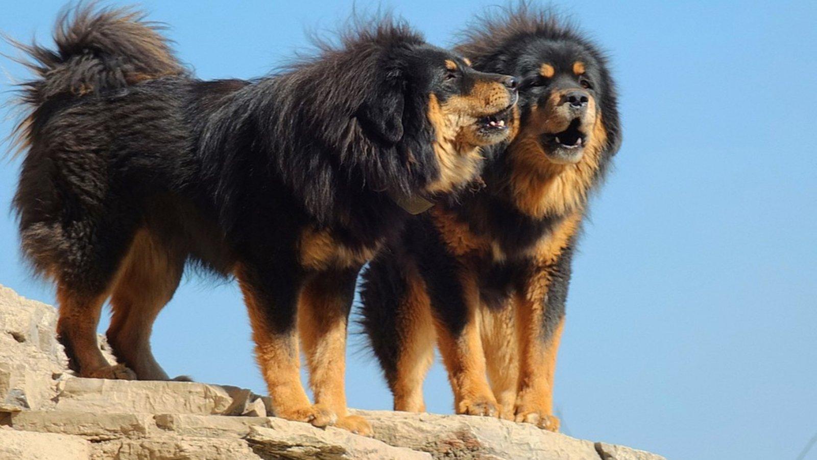 Tibetan Mastiff Dog: Tibetan Tibetan Mastiff Dog Breed