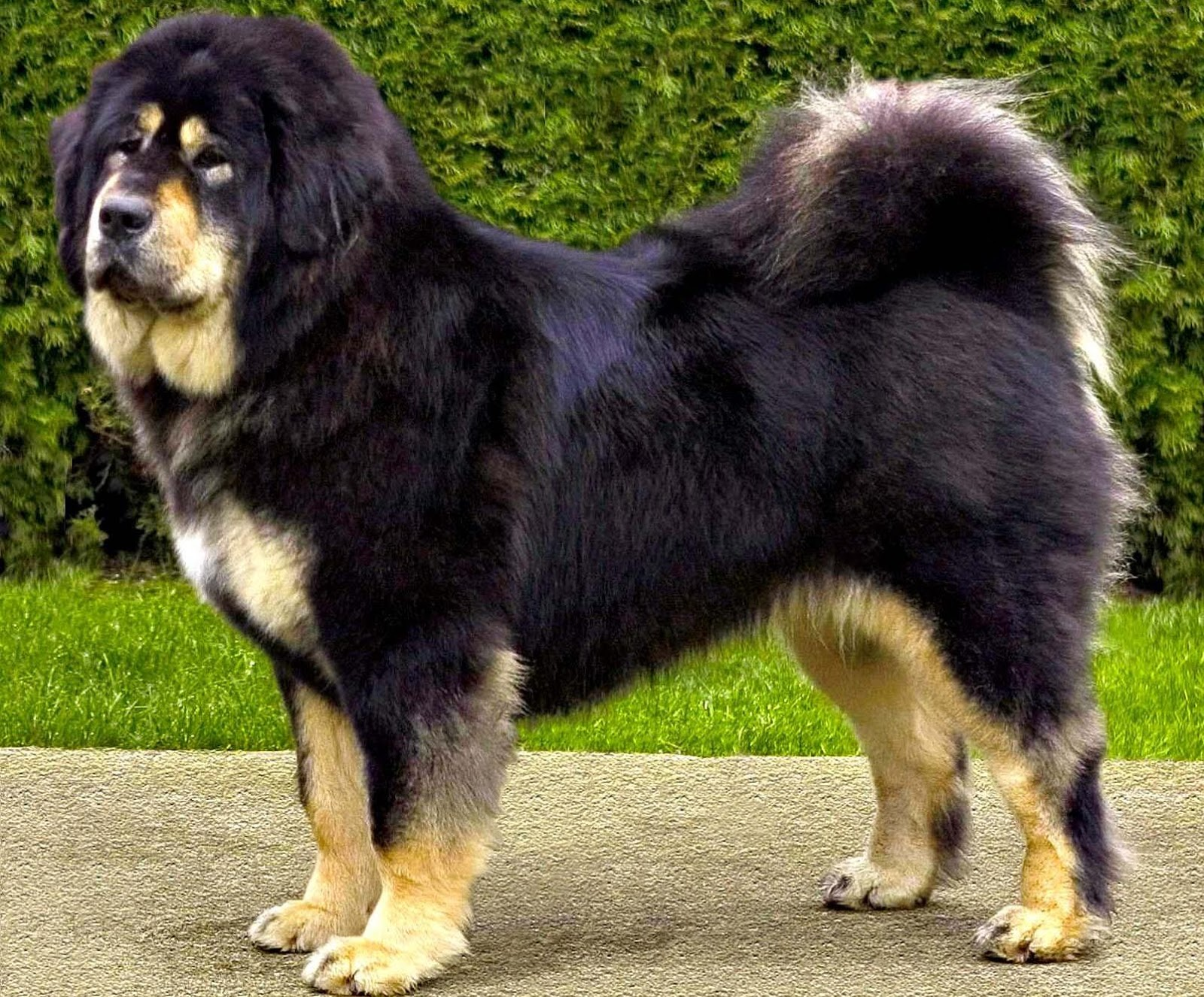 Tibetan Mastiff Dog: Tibetan Tibetan Mastiff Dog Do Khyi And Tsang Breed