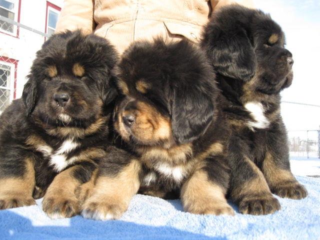 Tibetan Mastiff Puppies: Tibetan Tibetan Mastiff Puppies Breed