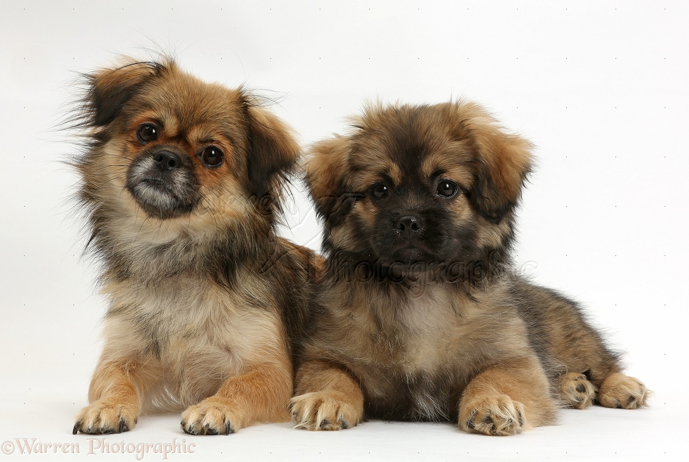 Tibetan Spaniel Puppies: Tibetan Tibetan Spaniel And Puppy Breed