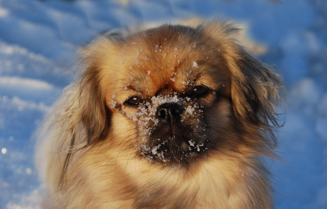 Tibetan Spaniel Dog: Tibetan Tibetan Spaniel Dog Face Breed