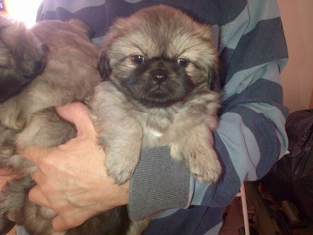 Tibetan Spaniel Puppies: Tibetan Tibetan Spaniel Puppies For Sale Chelmsford Breed