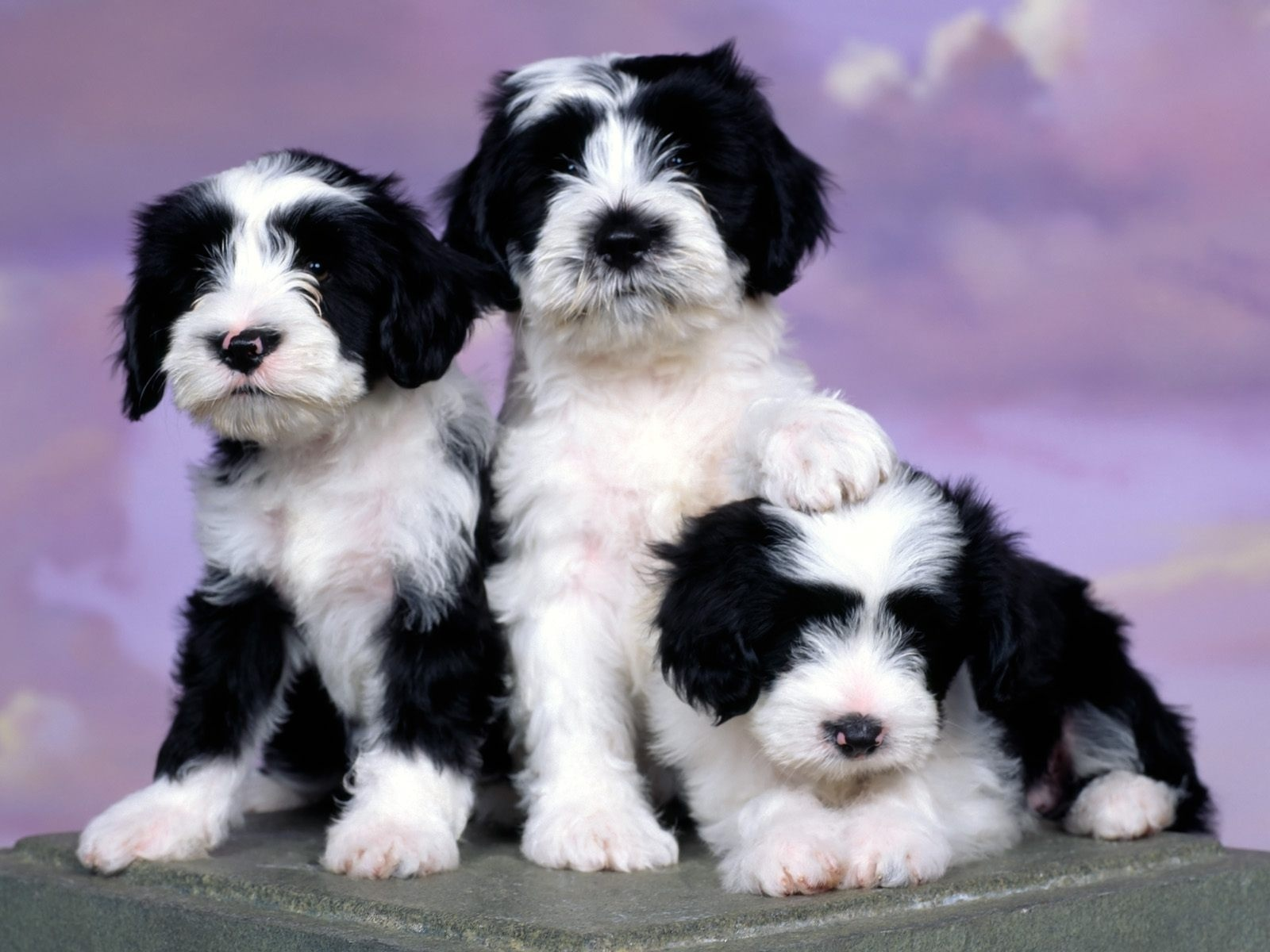 Tibetan Terrier Dog: Tibetan Tibetan Terrier Breed