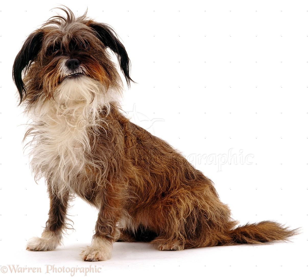 Tibetan Terrier Dog: Tibetan Tibetan Terrier Cross Breed
