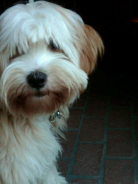 Tibetan Terrier Dog: Tibetan Tibetan Terrier Dog Breed