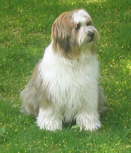 Tibetan Terrier Dog: Tibetan Tibetan Terrier Dog Breeders Profiles
