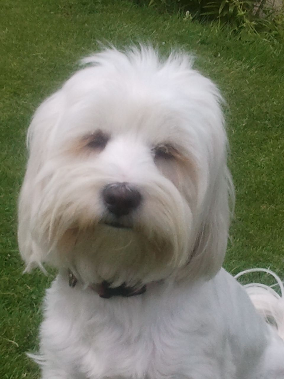 Tibetan Terrier Puppies: Tibetan Tibetan Terrier Puppies Expected Warrington Breed