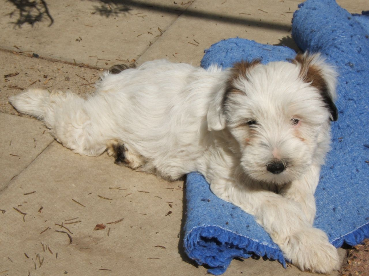 Tibetan Terrier Puppies: Tibetan Tibetan Terrier Puppies For Sale Horsham Breed