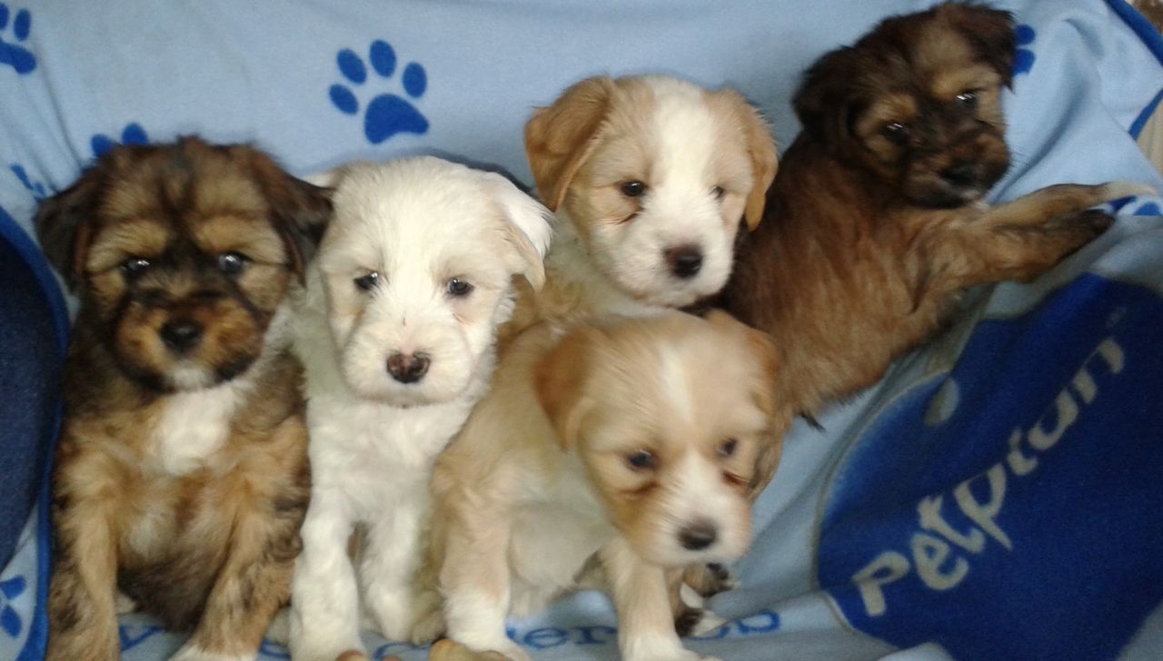 Tibetan Terrier Puppies: Tibetan Tibetan Terrier Puppies For Sale Lincoln Breed