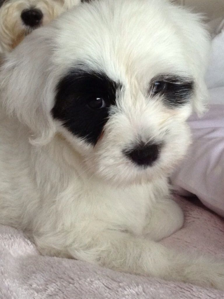 Tibetan Terrier Puppies: Tibetan Tibetan Terrier Puppies For Sale Tibetan Terrier For Sale Minnesota Breed