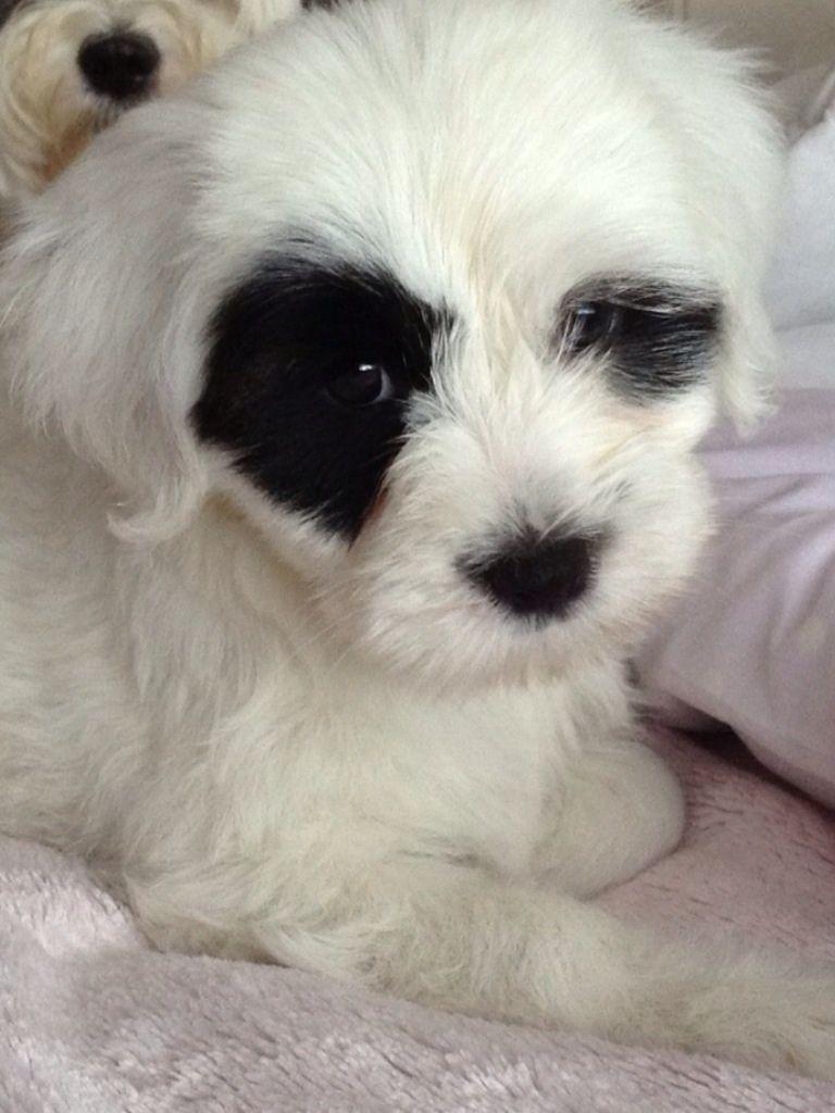Tibetan Terrier Puppies: Tibetan Tibetan Terrier Puppies For Sale Tibetan Terrier For Sale Minnesota Breed
