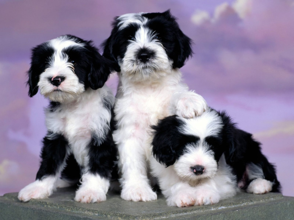Tibetan Terrier Puppies: Tibetan Tibetan Terrier Puppies Picture Breed