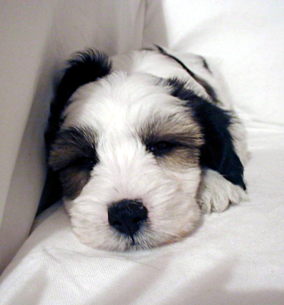 Tibetan Terrier Dog: Tibetan Tibetan Terriers Breed