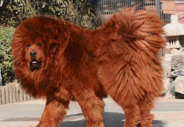 Tibetan Mastiff Dog: Tibetan Worlds Most Expensive Dog Red Tibetan Breed