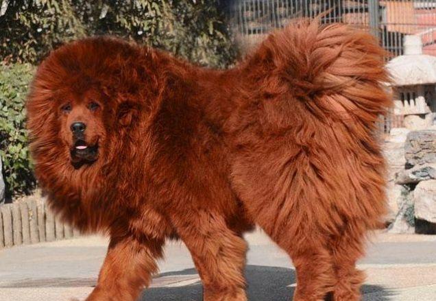 Tibetan Mastiff Dog: Tibetan Worlds Most Expensive Dog Red Tibetan Breed
