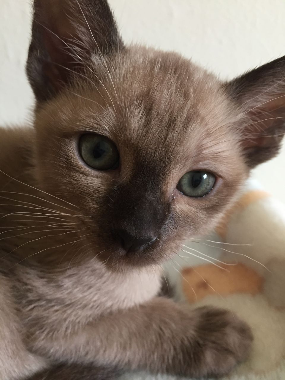 Tonkinese Kitten: Tonkinese Beautiful Tonkinese Kittens For Sale Bourne End Breed