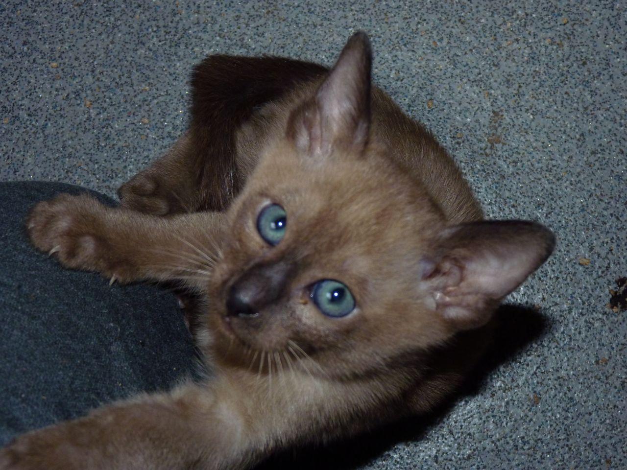 Tonkinese Kitten: Tonkinese Magical Tonkinese Kittens Whitley Bay Breed