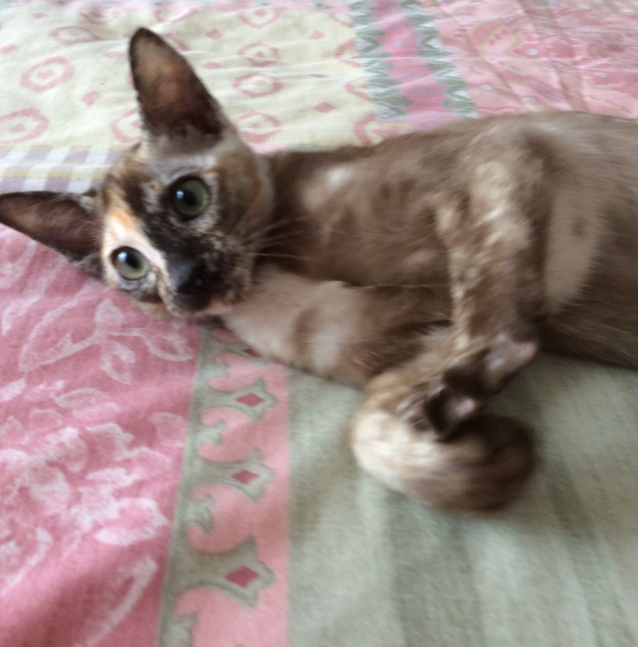 Tonkinese Cat: Tonkinese Shy Tonkinese Cats For Sale Breed