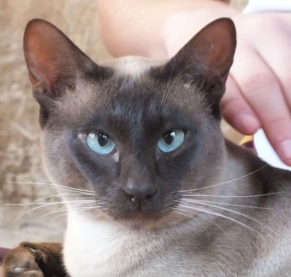Tonkinese Cat: Tonkinese Studsqueens Breed