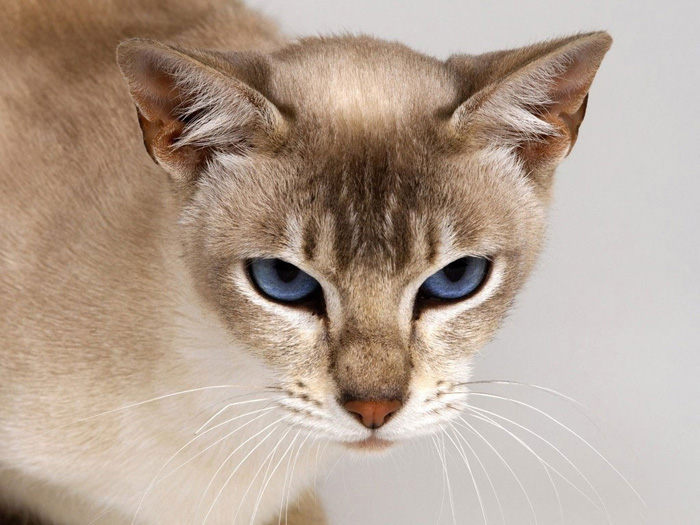 Tonkinese Cat: Tonkinese Tattoosdesignssymbolscattonkineseinspiration Breed