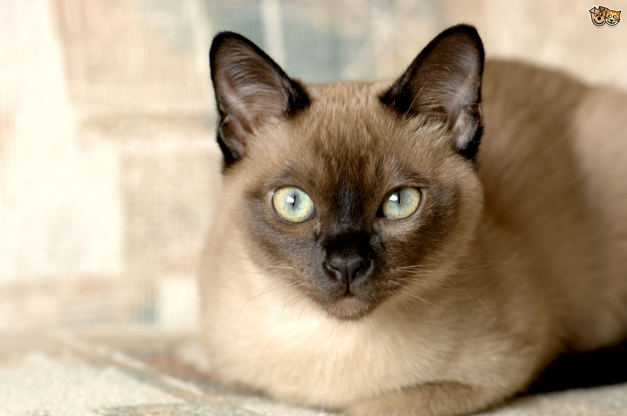 Tonkinese Cat: Tonkinese The Tonkinese Cat Breed