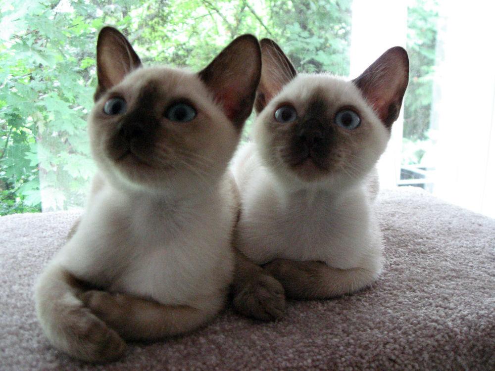 Tonkinese Kitten: Tonkinese Tonkinese Breed