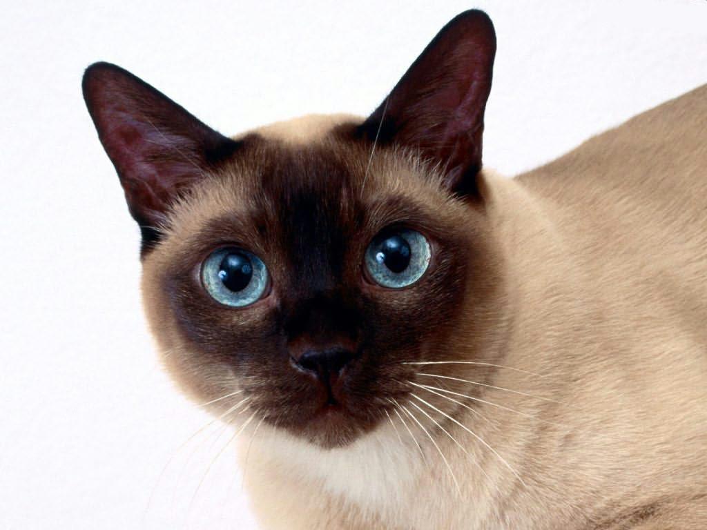 Tonkinese Cat: Tonkinese Tonkinese Cat Breed