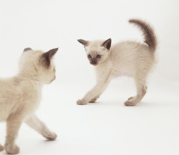 Tonkinese Cat: Tonkinese Tonkinese Cats Breed