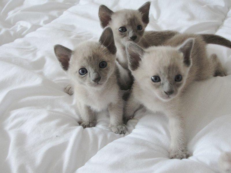Tonkinese Kitten: Tonkinese Tonkinese Kitten Breed