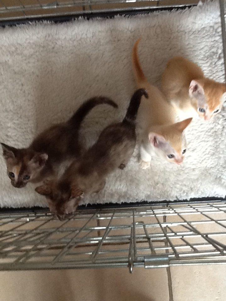 Tonkinese Cat: Tonkinese Tonkinese Kittens Hythe Breed