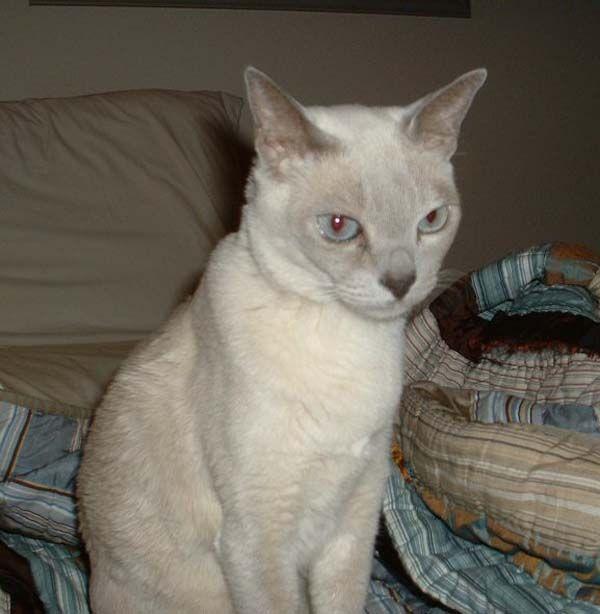 Tonkinese Cat: Tonkinese Tonkinesecat Breed