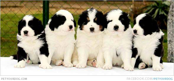 Tornjak Puppies: Tornjak Breed