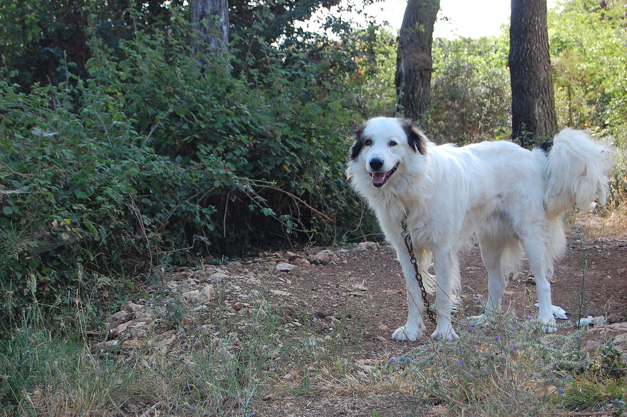 Tornjak Dog: Tornjak Lovely Tornjak Dog Breed