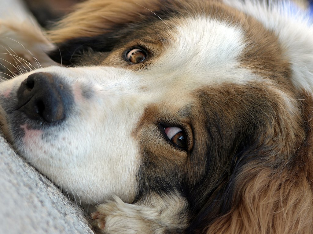 Tornjak Dog: Tornjak Nice Tornjak Dog Breed