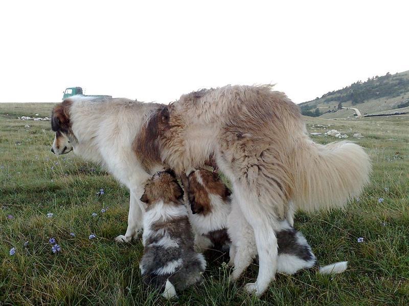 Tornjak Puppies: Tornjak Tornjak Breed