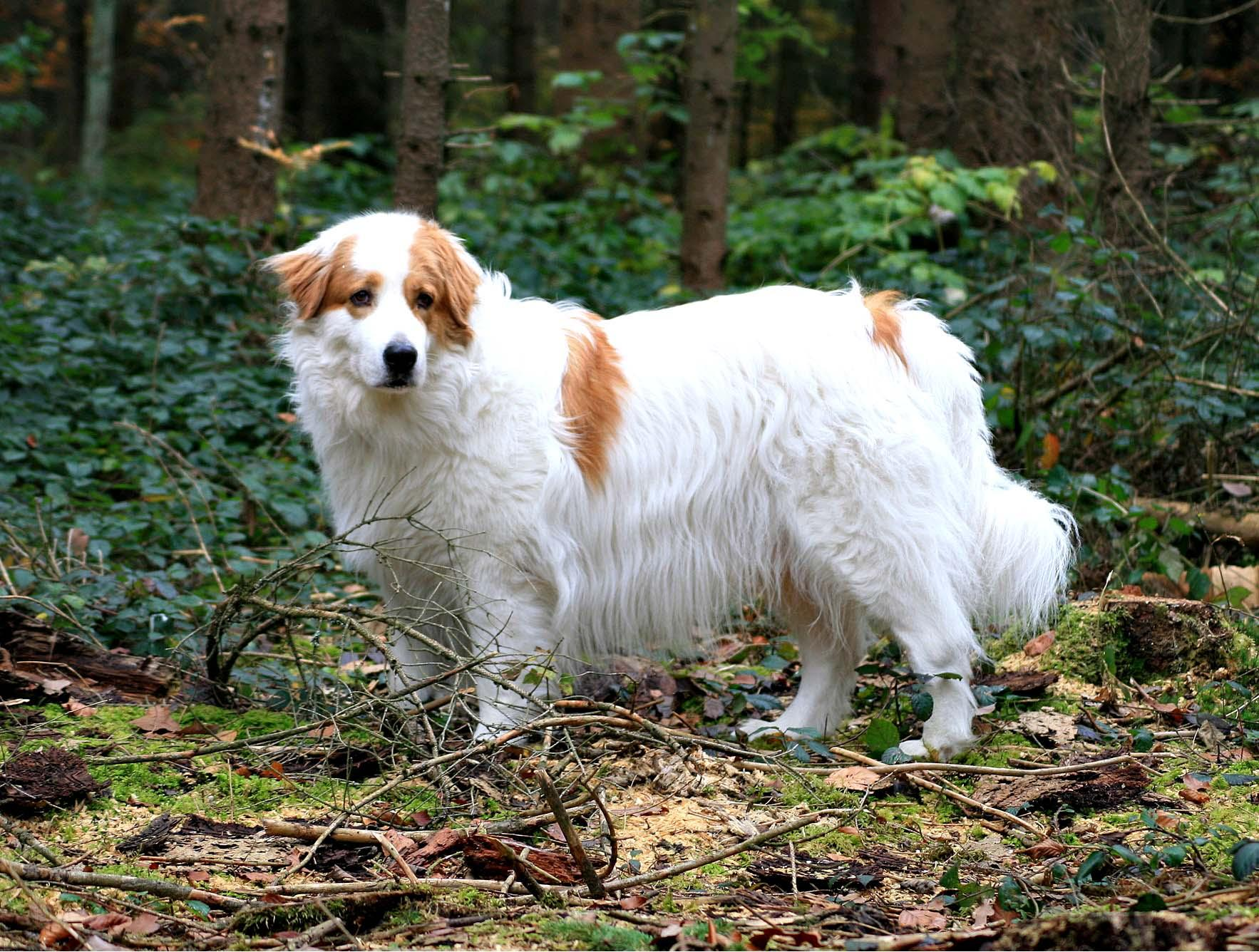 Tornjak Dog: Tornjak Tornjak Dog In The Forest Breed