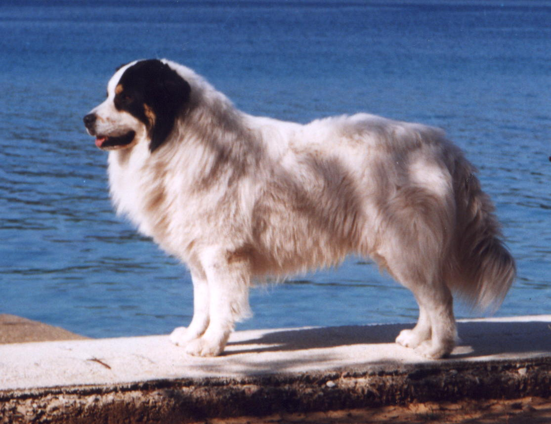 Tornjak Dog: Tornjak Tornjak Dog On Seaside Breed