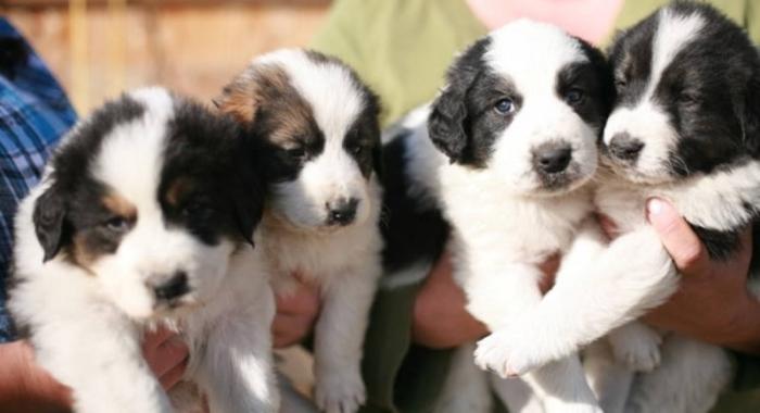 Tornjak Puppies: Tornjak Tornjak Puppies In Canada Breed