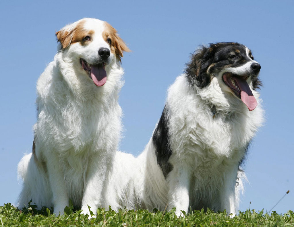 Tornjak Dog: Tornjak Two Lovely Tornjak Dogs Breed