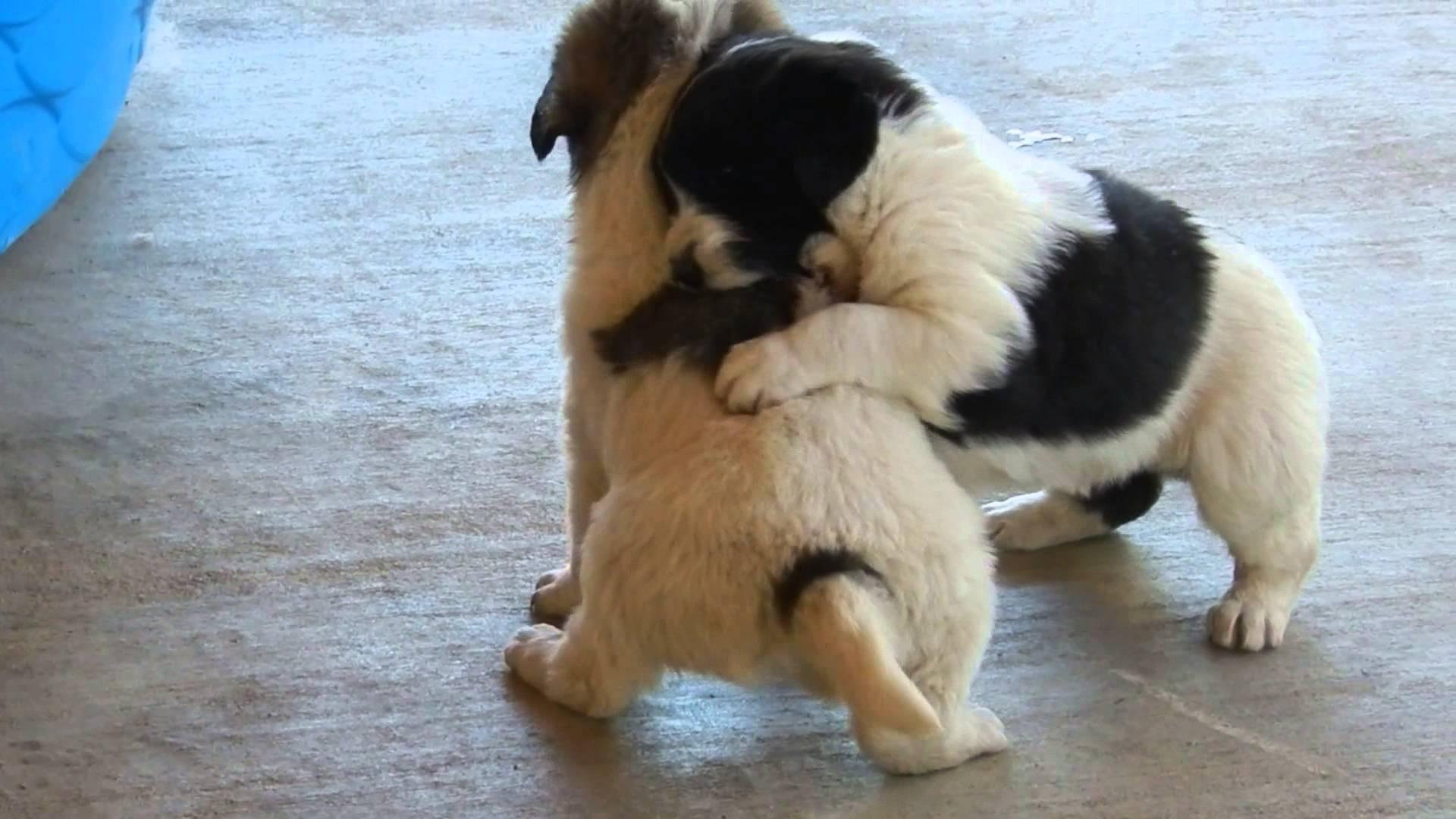 Tornjak Puppies: Tornjak Watch Breed