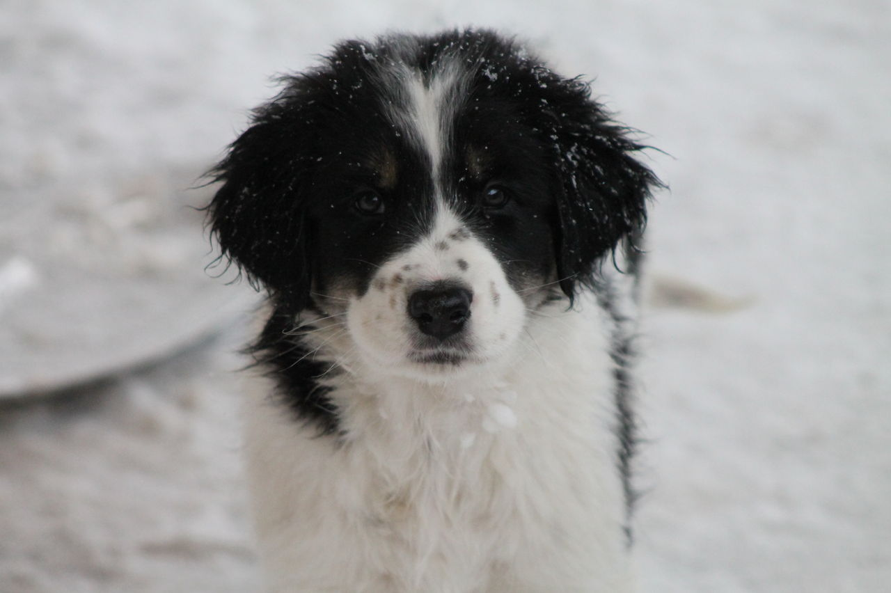 Tornjak Dog: Tornjak Winter Tornjak Dog Breed