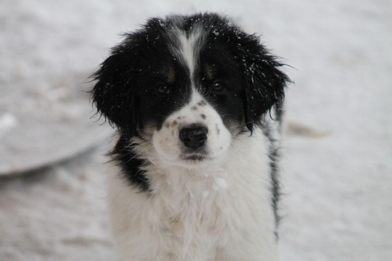 Tornjak Dog: Tornjak Winter Tornjak Dog Breed